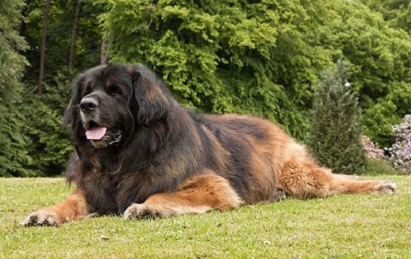 Самые редкие породы собак. 404420.jpeg