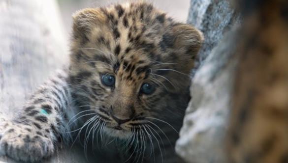 Возросла численность дальневосточных леопардов. 394421.jpeg
