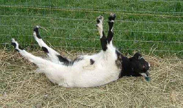 Падающая в обморок коза и другие интересные факты о поведении животных. 404421.jpeg