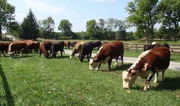 Падающая в обморок коза и другие интересные факты о поведении животных. 404422.jpeg