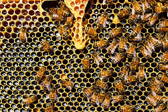Причину вымирания пчел назвали ученые из Техаса