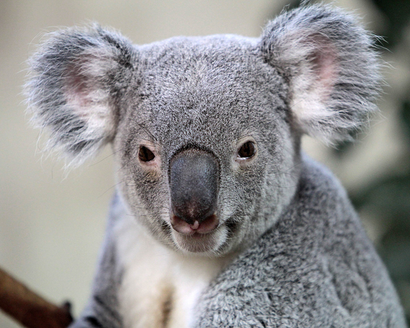 Власти Австралии убили 700 коал, спасая их от голода. Власти Австралии убили 700 коал