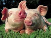 Бельгийские ученые реабилитировали свиней