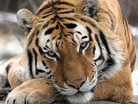 Непал и Индия решили пересчитать своих тигров. 280427.jpeg