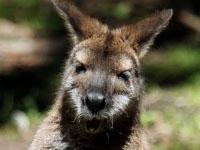 Кенгуру избил австралийскую старушку. 242428.jpeg