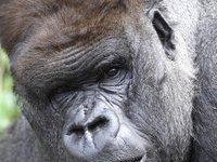 Британские ученые защекотали горилл до смеха. 252428.jpeg