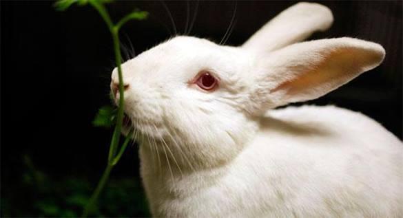 Ученые США научились выращивать мужские половые органы из клеток подопытных кроликов. 300430.jpeg
