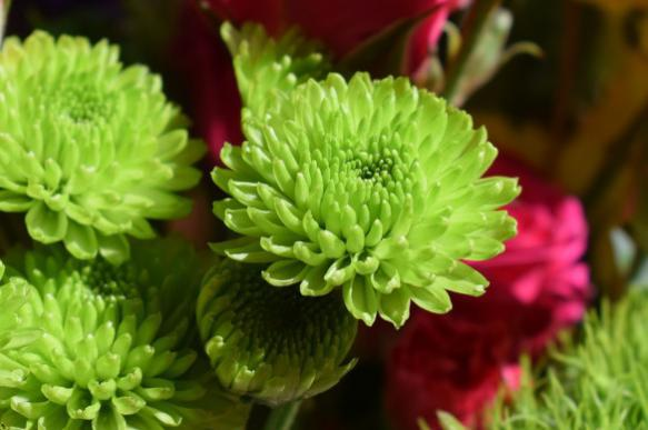 Садовая хризантема: сорта, выращивание, подкормка. 401430.jpeg