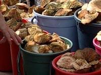 Итальянцам грозит штраф за сбор 50 кг лисичек
