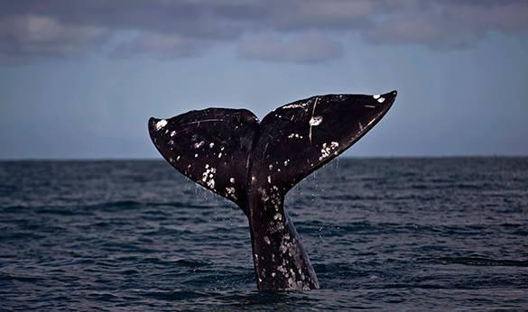 В Хабаровском крае спасают гренландского кита, застрявшего в устье реки. В Хабаровском крае спасают гренландского кита, застрявшего в уст