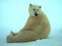 Белые медведи стремительно уменьшаются в размерах