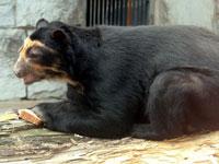 Стресс довел медведей до облысения