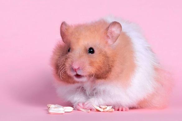 Факты о хомяках: диета, привычки и типы хомячков. Часть 1. 394437.jpeg