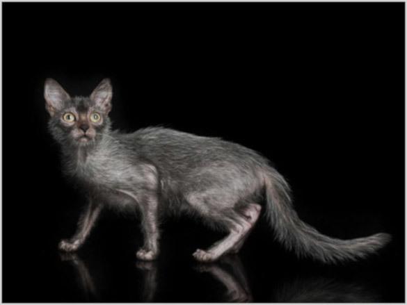 Ликой: кошки-оборотни. 394440.jpeg