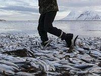 Из-за тонн мертвой рыбы Исландия теряет миллионы. 280442.jpeg