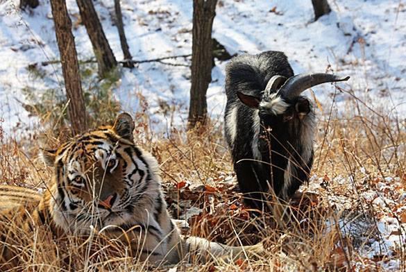 Козел Тимур обрадовался, увидев тигра Амура за решеткой. Видео