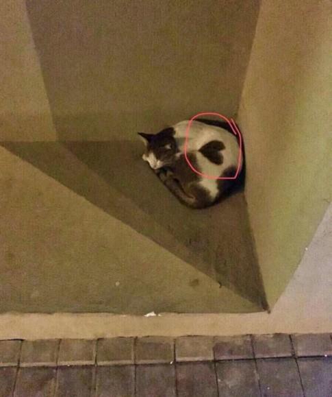 Уличная кошка в Дубае необычной окраски в виде сердечка. 393442.jpeg