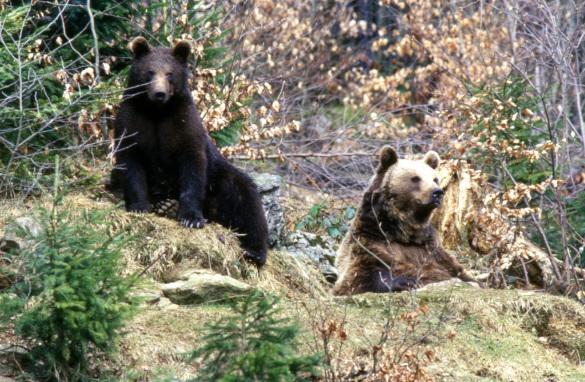 На Дальнем Востоке увеличилась популяция медведей. 394447.jpeg