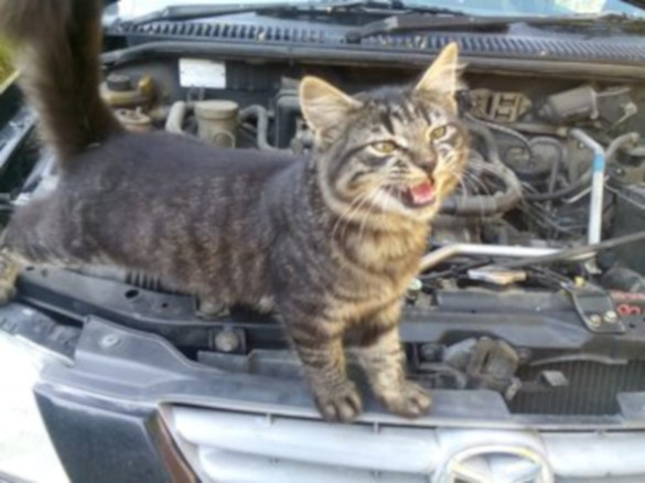 Во Владивостоке водитель нашел под капотом котенка. 394451.jpeg