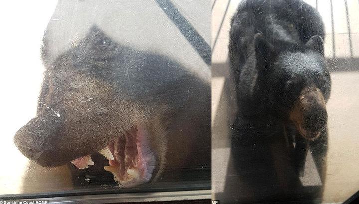 Канадец ударом в нос выгнал из дома дикого медведя. Канадец ударом в нос выгнал из дома дикого медведя