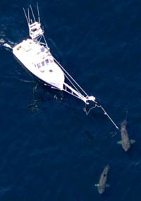 Ученые показали, где акулы зимуют...