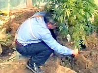 Коноплеводы попытались высадить марихуану перед зданием