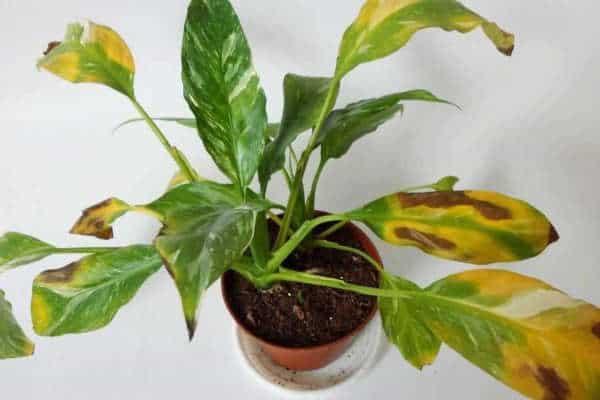 Причины высыхания кончиков листьев у комнатных растений. 393461.jpeg