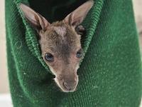 Вязаная шапка заменила кенгуренку мать