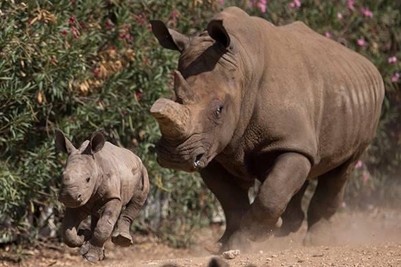 В Южной Африке вводят яд в рога носорогам для защиты от браконьеров. Носороги в национальном парке