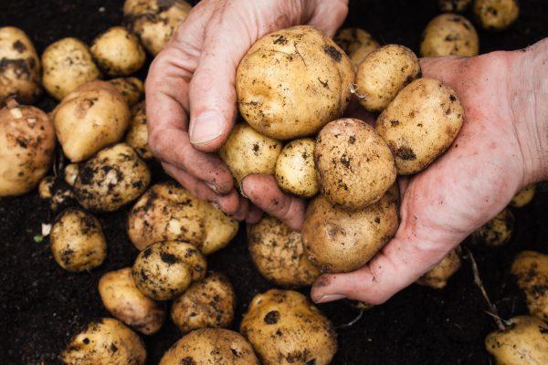 Молодая картошка в октябре. 393470.jpeg