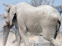 В Африке обнаружена редчайшая популяция белых слонов