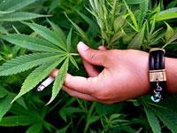 Американцев будут лечить марихуаной
