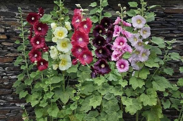 Пять красивых многолетних цветов для посадки около забора. 403475.jpeg