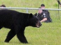 Медведь-автомобилист угнал машину у американской семьи. bear