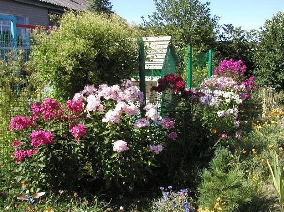 Пять красивых многолетних цветов для посадки около забора. 403479.jpeg