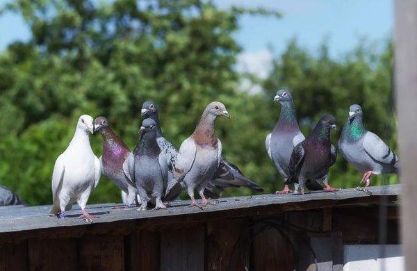 Поцелуй больного голубя и умри!. голуби мира