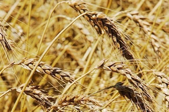 Пшеница - наша вторая атомная бомба