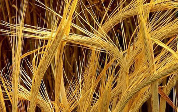 Глава Минсельхоза: практически решен вопрос о поставках российского зерна в Китай. 303483.jpeg