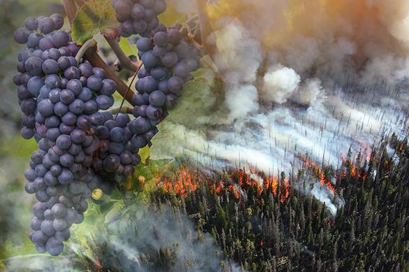 Химики выяснили, как лесные пожары влияют на вкус вина. Химики выяснили, как лесные пожары влияют на вкус вина