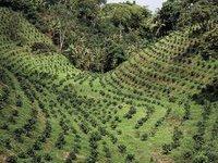 Плантации кофе предлагают признать объектами всемирного наследия. 237489.jpeg