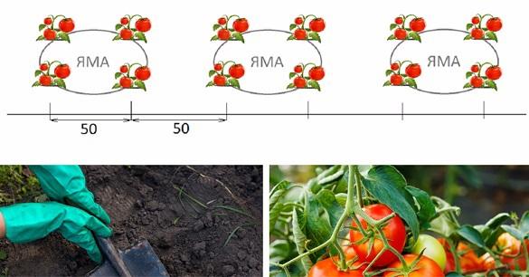 Способ посадки помидоров с гарантированным урожаем. 403489.jpeg