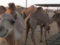 В Чечне появилась первая верблюжья ферма