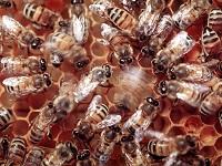 Электричество как способ коммуникации пчел. 282498.jpeg