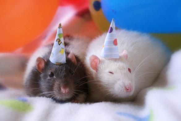 Как приручить декоративную крысу?. 394498.jpeg