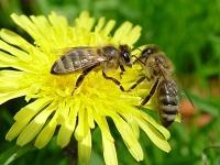 Электричество как способ коммуникации пчел. 282499.jpeg