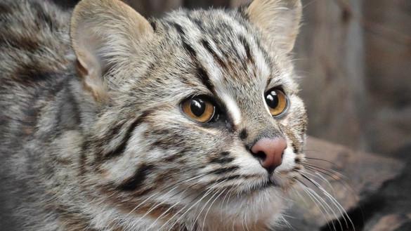 В Московском зоопарке поселилась амурская лесная кошка. 394503.jpeg