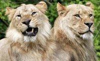 Десятки диких зверей сбежали из частного заповедника в США. lion