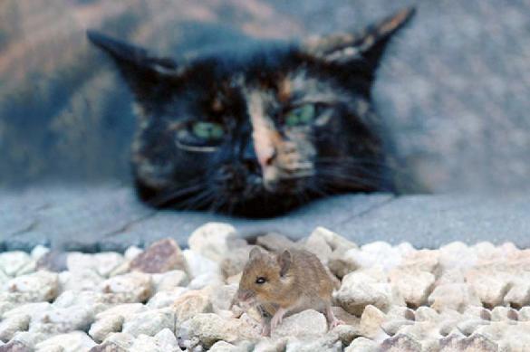 Ученые выяснили, что кошки на самом деле не ловят крыс. 392508.jpeg