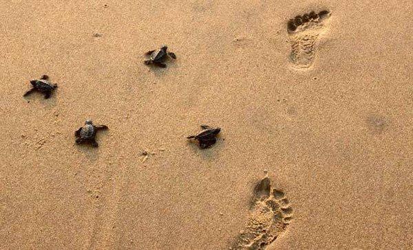 Пляжи Бенгальского залива заполонили черепахи. черепахи