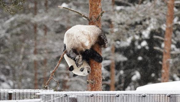 В Китае панды радуются первому снегу. 394509.jpeg